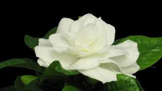 Beautiful Gardenia Flower Opening : Stock Video