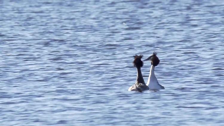 Birds Mating Ritual Dance: Stock Video
