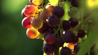 Wine Grapes Hanging With Morning Dew: Stock Video