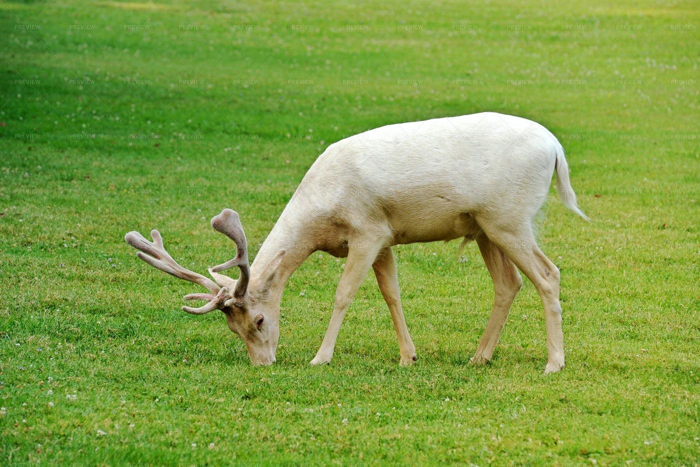 Albino Fallow Deer: Stock Photos
