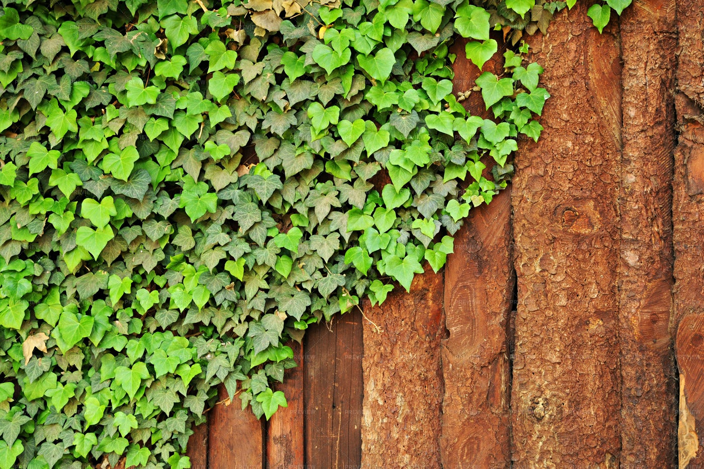 Ivy Creeps Along A Fence: Stock Photos