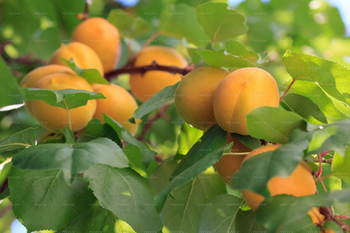 Apricots On A Tree: Stock Photos