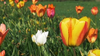 Colorful Spring Tulips: Stock Video