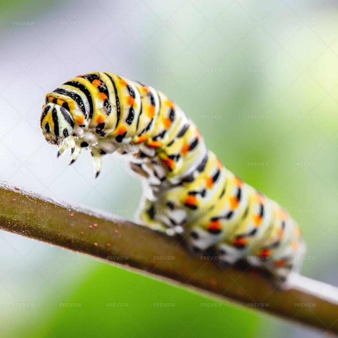Papilio Machaon Caterpillar: Stock Photos