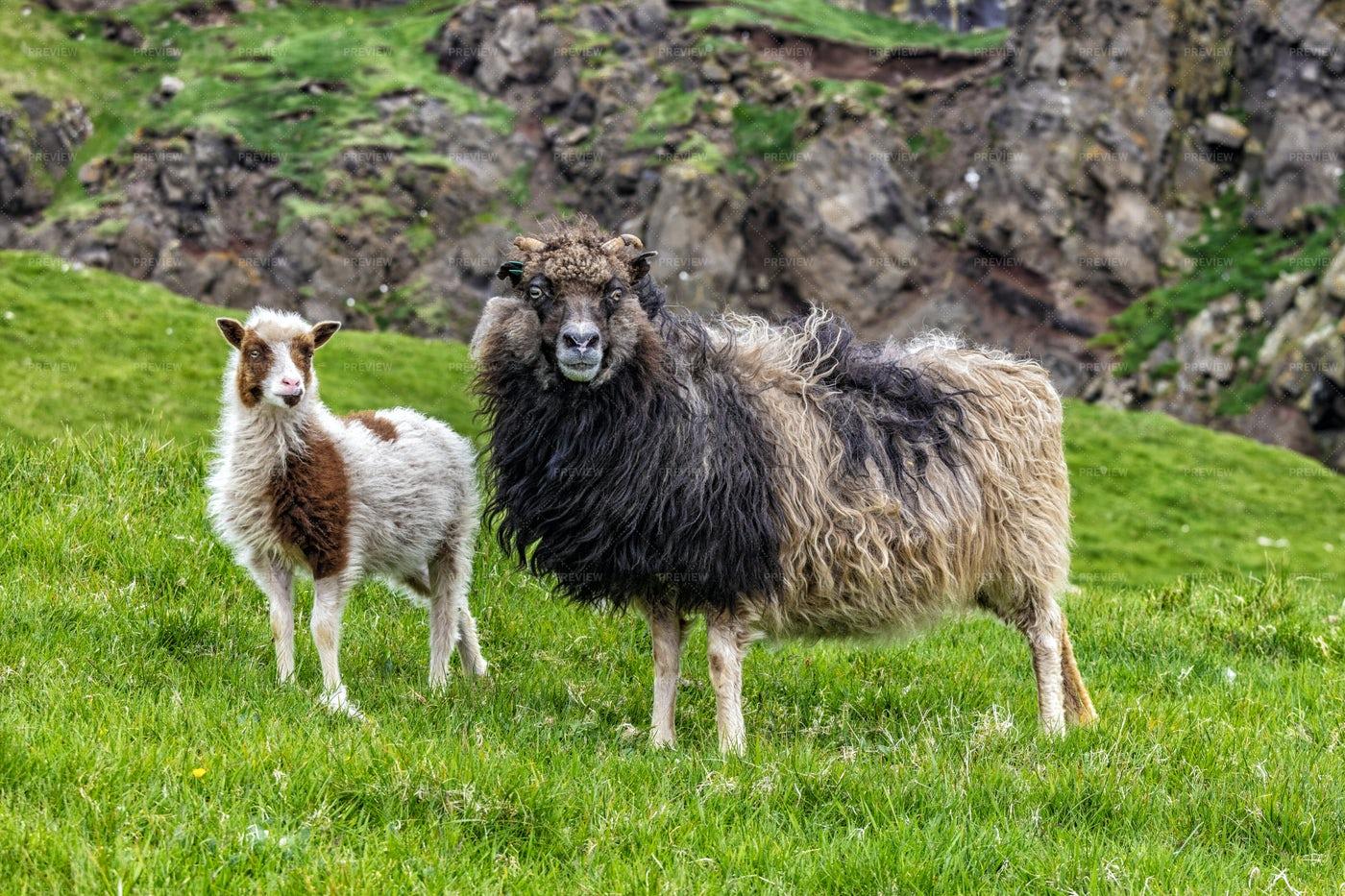 Sheep In Mykines: Stock Photos