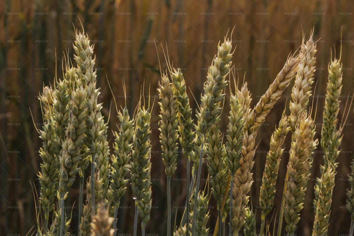 Wheat: Stock Photos