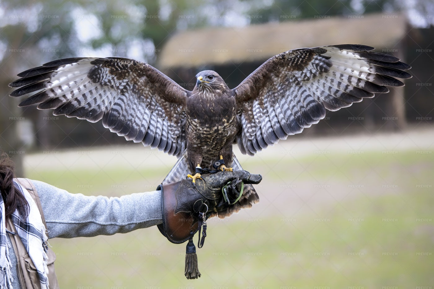 Buteo With Open Wings: Stock Photos