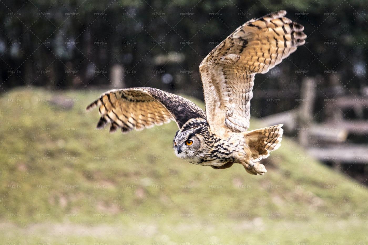 Flying Bubo Owl: Stock Photos