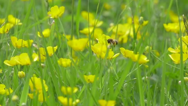 Western Honey Bee Pollinating: Stock Video
