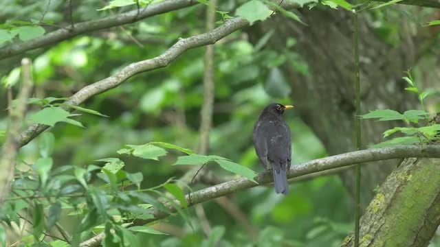 Blackbird In Nature 4k: Stock Video