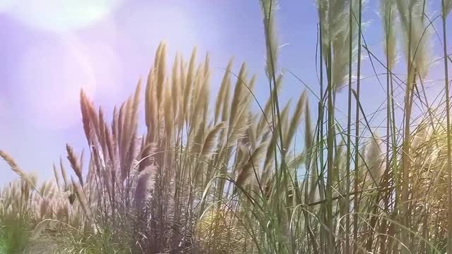 Reeds Waving In The Wind: Stock Video