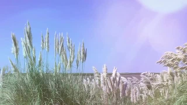 Waving Reeds In Summer: Stock Video