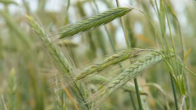 Green Ears Of Wheat : Stock Video