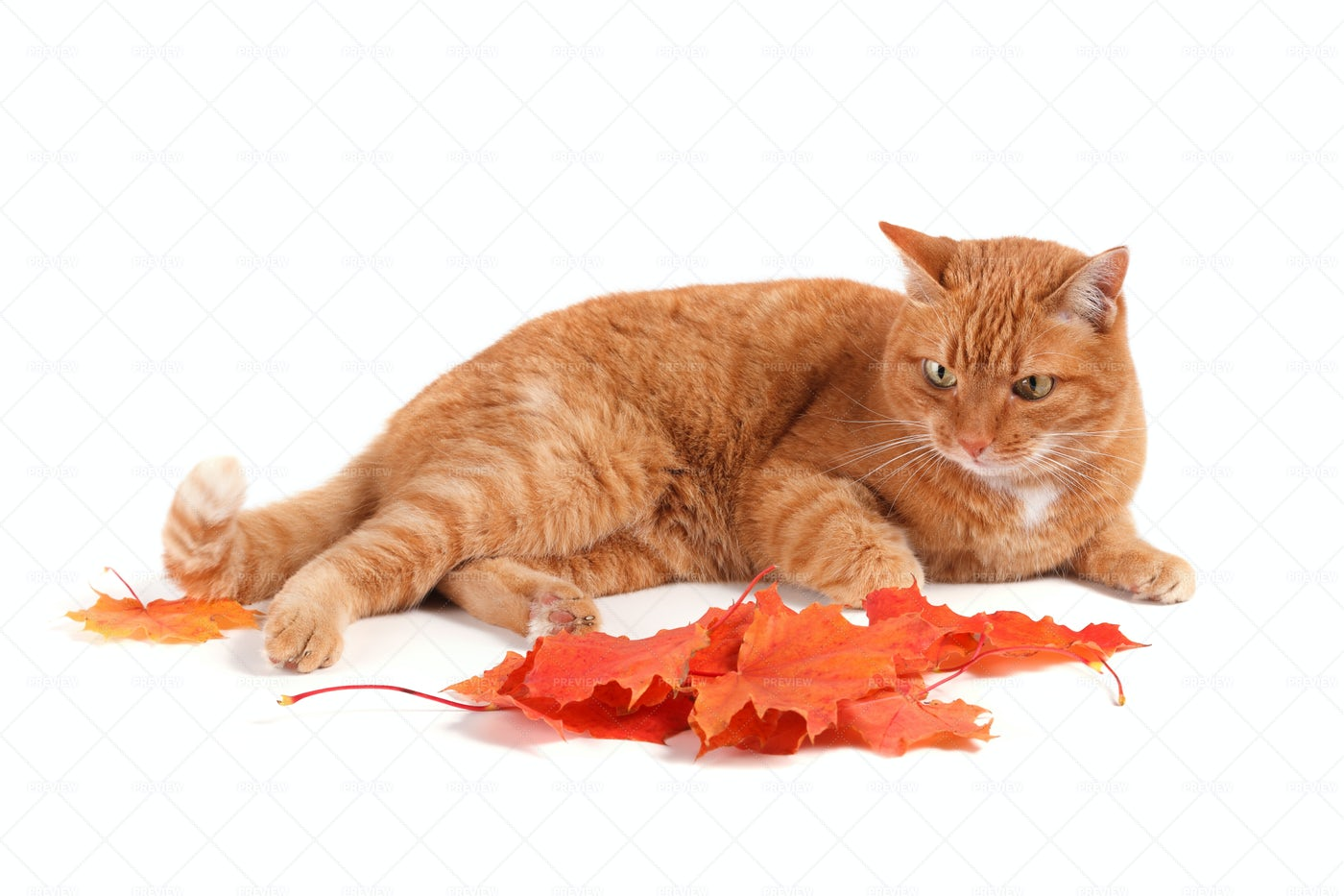 Cat Lying Beside Leaves: Stock Photos