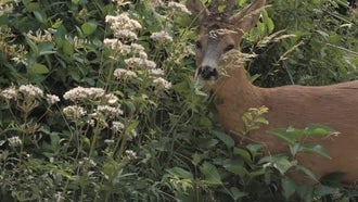 Roe Deer Eating Flowers: Stock Video