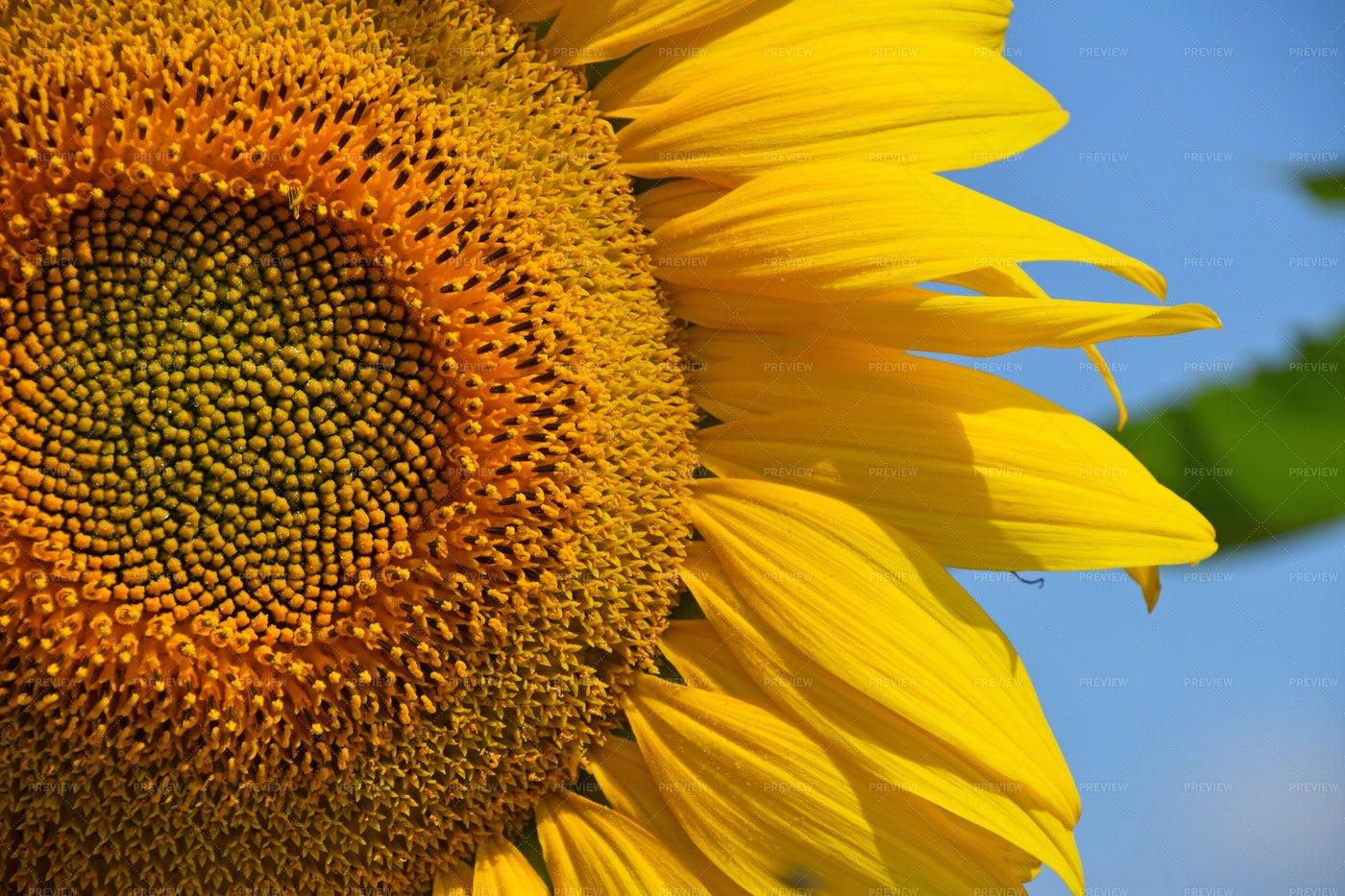 Yellow Sunflower Close-Up: Stock Photos