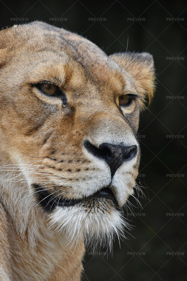 An African Lioness Leers: Stock Photos