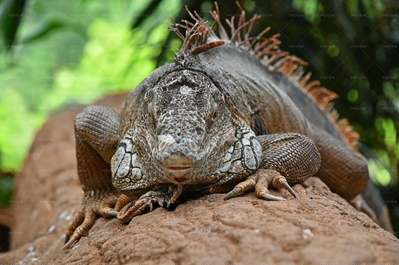 Iguana On A Tree Trunk: Stock Photos