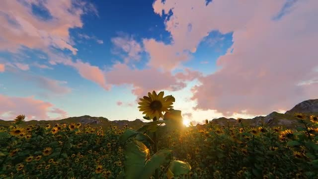 Field of Sunflowers During Sunset: Stock Motion Graphics