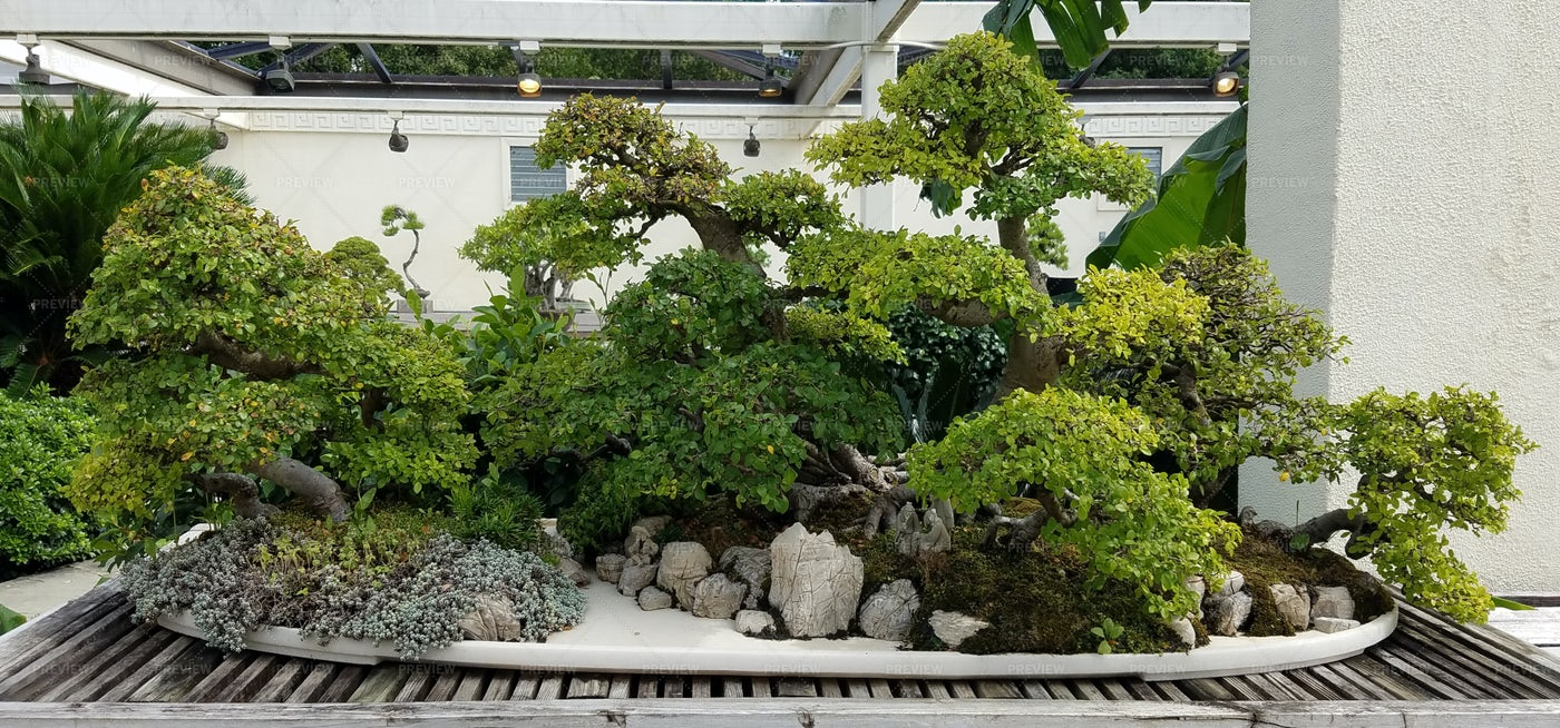 A Set Of Bonsai Trees: Stock Photos