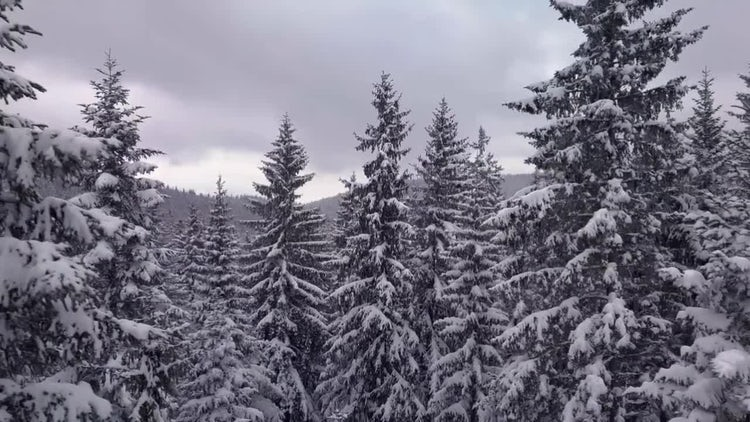 Conifer Pine Forest In Snow: Stock Video