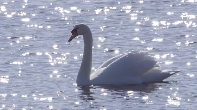 Beautiful Swan On Glittering Water: Stock Video