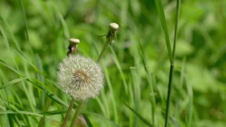 Summer Nature Dandelion 4k: Stock Video