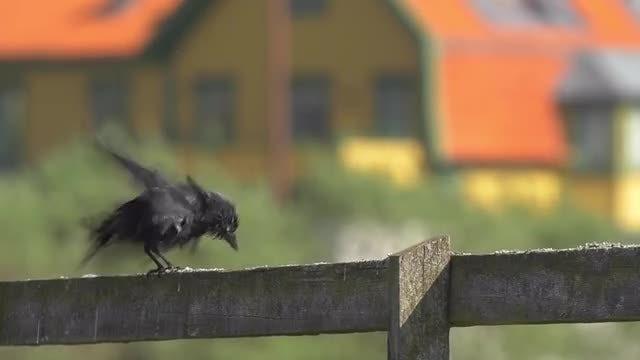 Black Summer Bird Flying Away: Stock Video