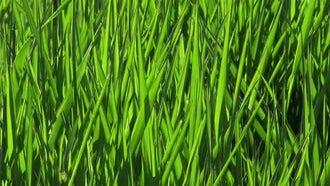 Summer Green Grass Background 4k: Stock Video