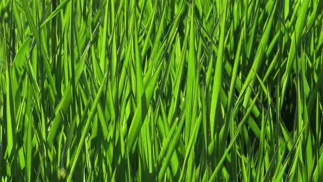 Summer Green Grass Background 4k: Stock Video
