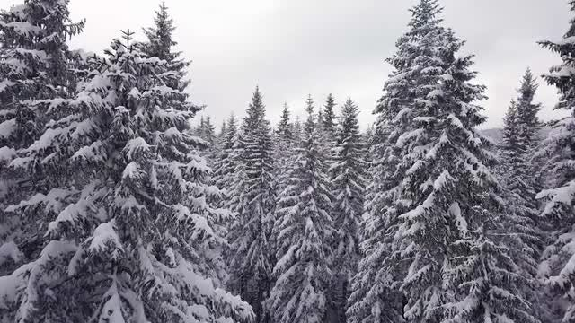 Snow Covered Conifer Pine Forest : Stock Video