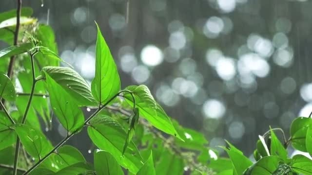 Tropical Summer Rain On Green Leaves: Stock Video