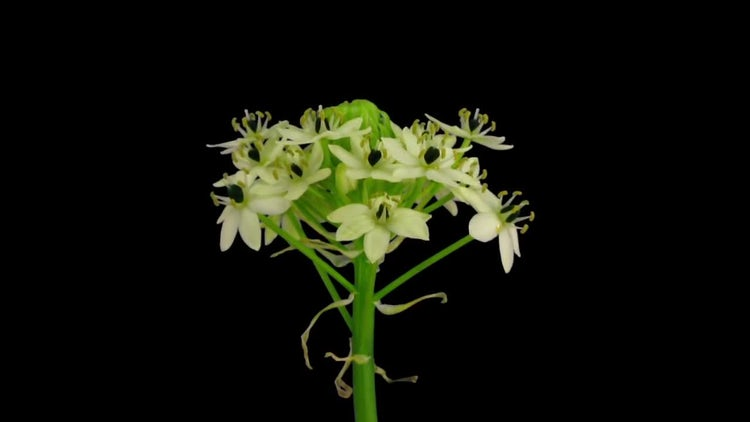 White African Lily Opening : Stock Video