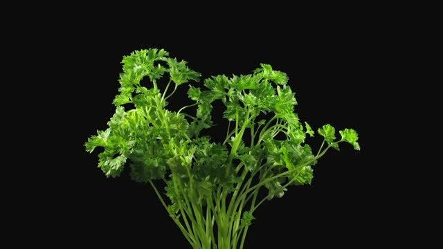 Green Lettuce Vegetable Growing: Stock Video