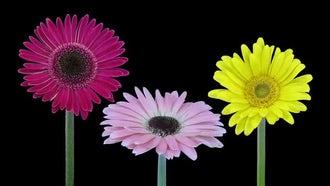 Gerbera Flowers Growing: Stock Video