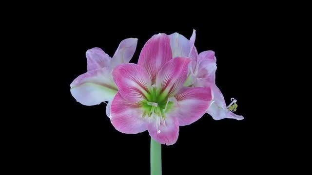 Candy Floss Amaryllis Flower Opening: Stock Video