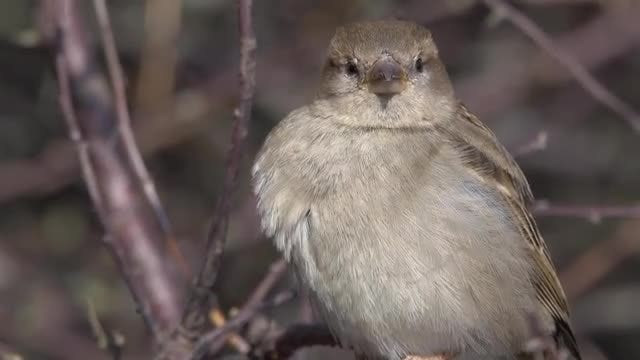 Female House Sparrow Bird: Stock Video