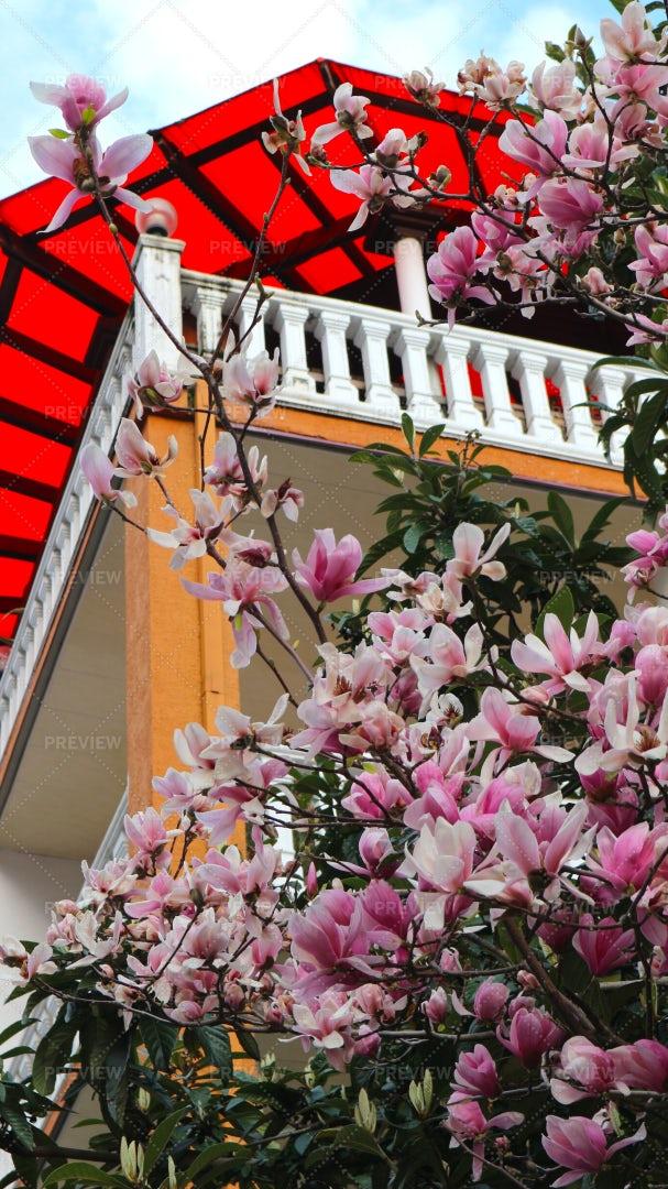 Spring Magnolia Tree Flowers: Stock Photos
