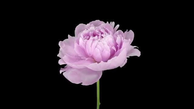 Opening Pink Peony Flower: Stock Video