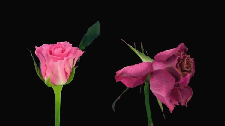 Opening-Dying Ballet Rose: Stock Video
