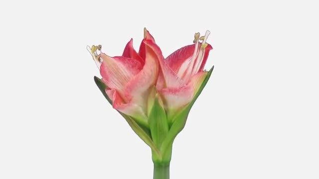 Amaryllis Minerva Christmas Flower: Stock Video