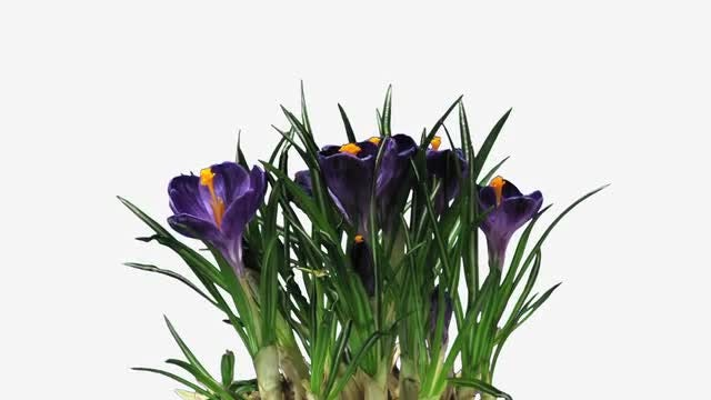 Purple Crocus Easter Flower Opening : Stock Video