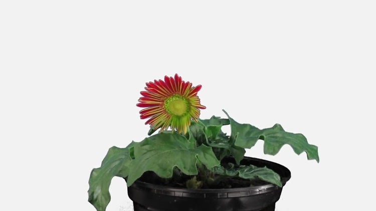 Red Gerbera Flower Opening: Stock Video