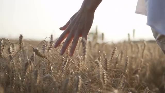 The Wheat Field: Stock Video