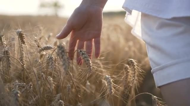 The Wheat Harvest: Stock Video