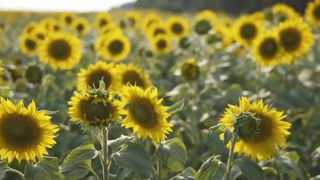 The Sunflowers: Stock Video