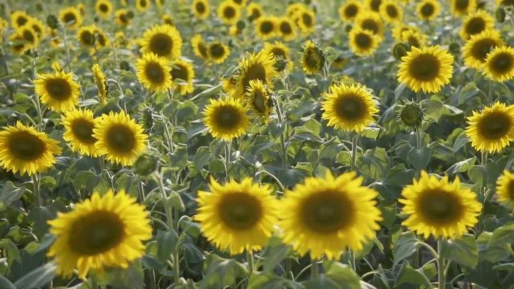Sunflower Field: Stock Video