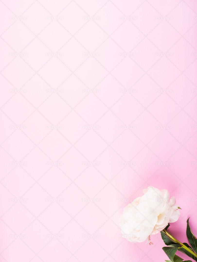 White Peony On Pink: Stock Photos