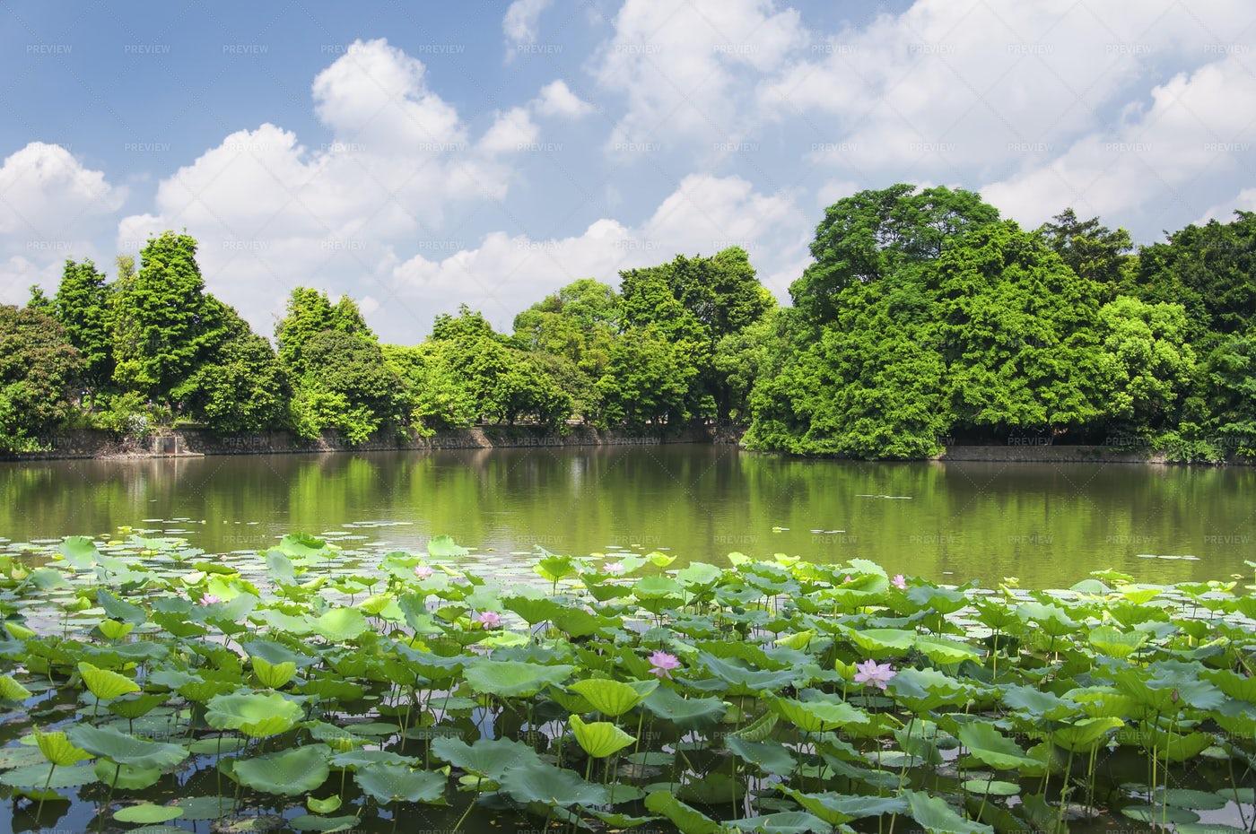 Lotus Flowers On Lake, Guangzhou, China: Stock Photos