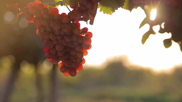 Hanging Red Grapes In Vineyard : Stock Video